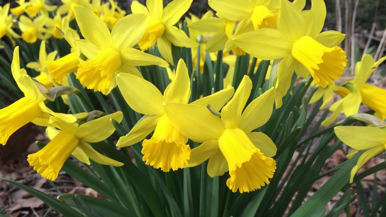 Daffodil flower bulbs narcissus american meadows video thumbnail mightylinksfo