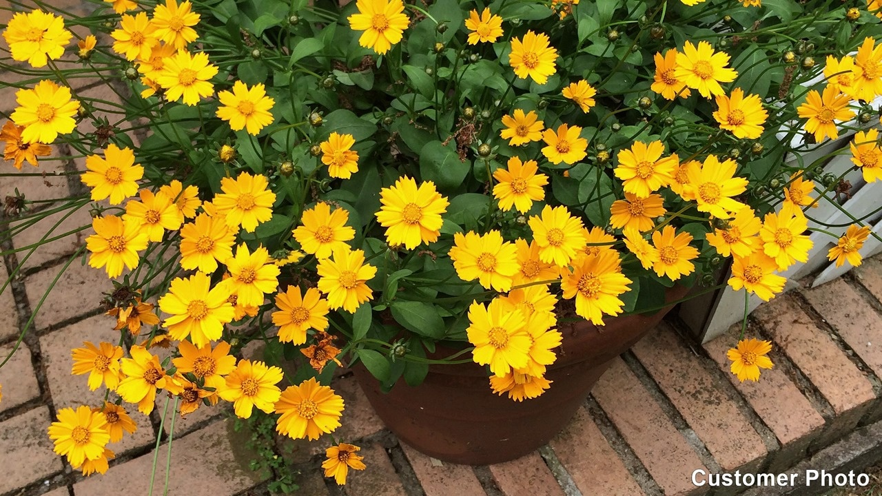 Coreopsis Zagreb Coreopsis Verticillata Tickseed Perennials From