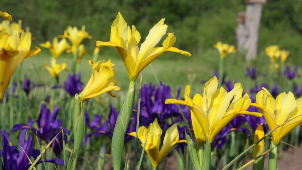 Yellow queen dutch iris american meadows video thumbnail izmirmasajfo