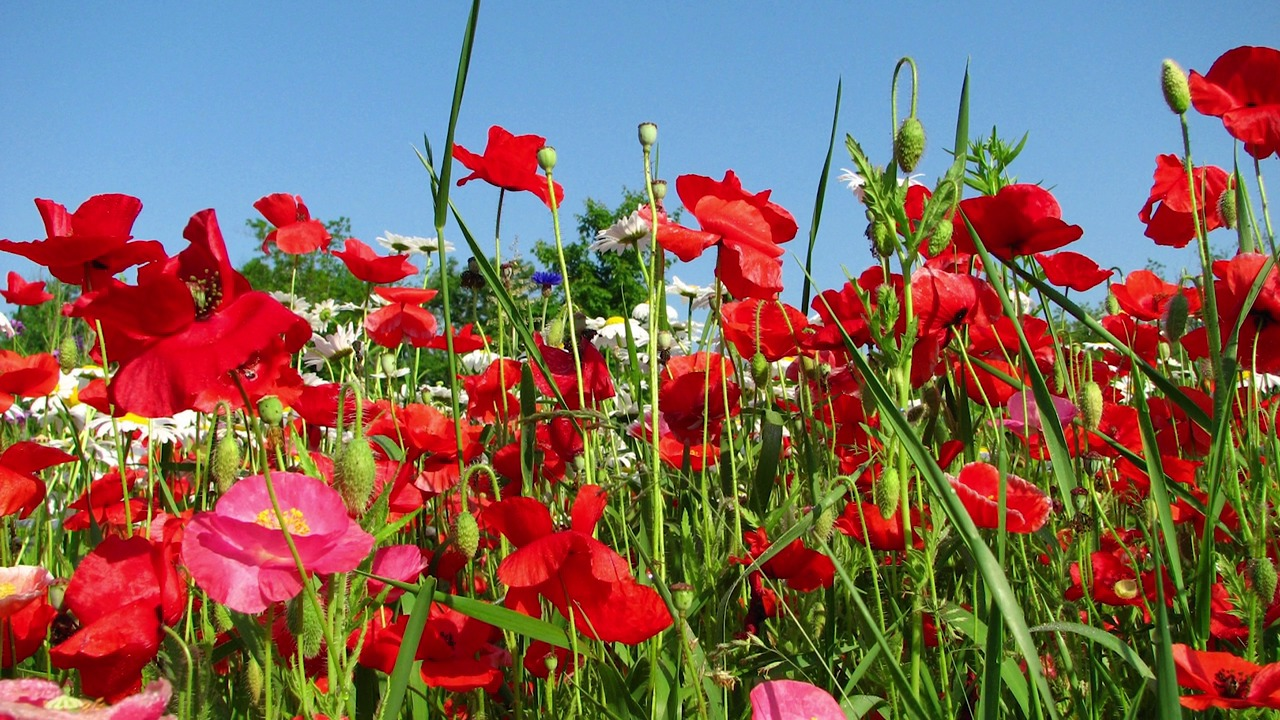 Poppy Flower Seeds American Meadows