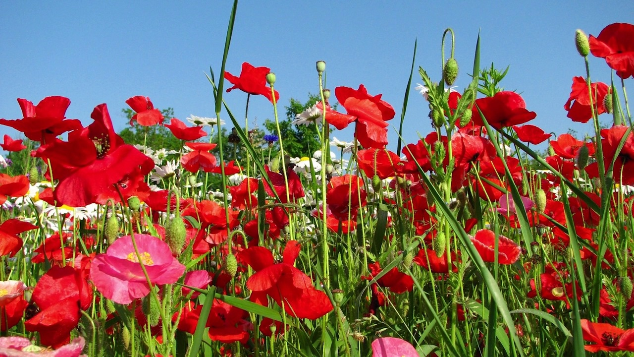Poppy flower seeds american meadows video thumbnail mightylinksfo