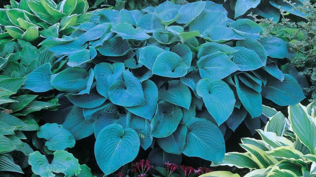 Variegated Hosta Mix Plantain Lily American Meadows