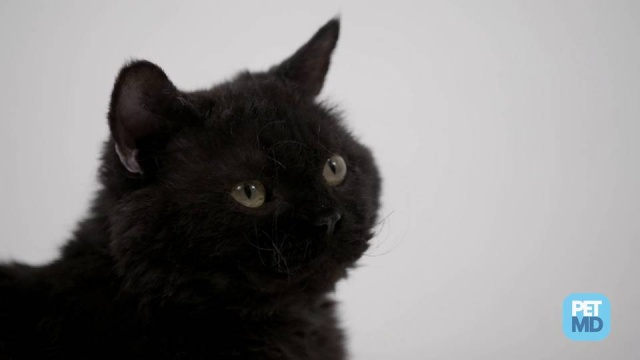Pet Myths: Are Black Cats Bad Luck? | petMD