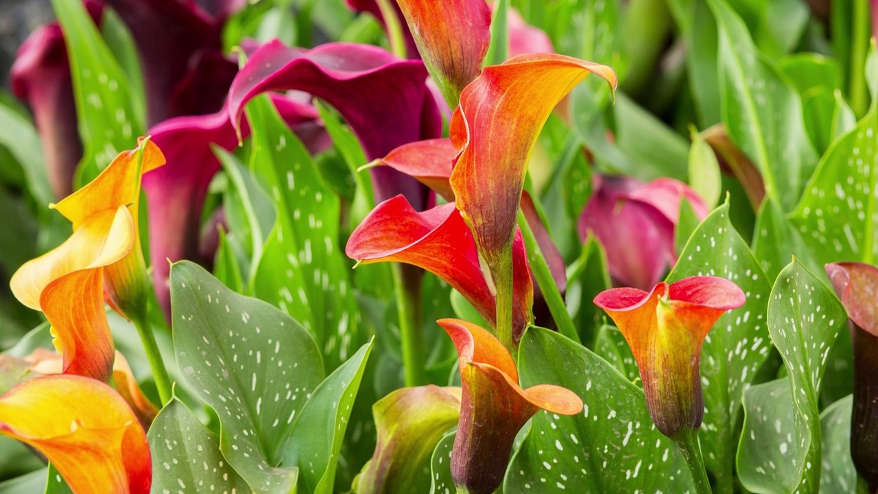 Calla lily flower bulbs american meadows video thumbnail izmirmasajfo