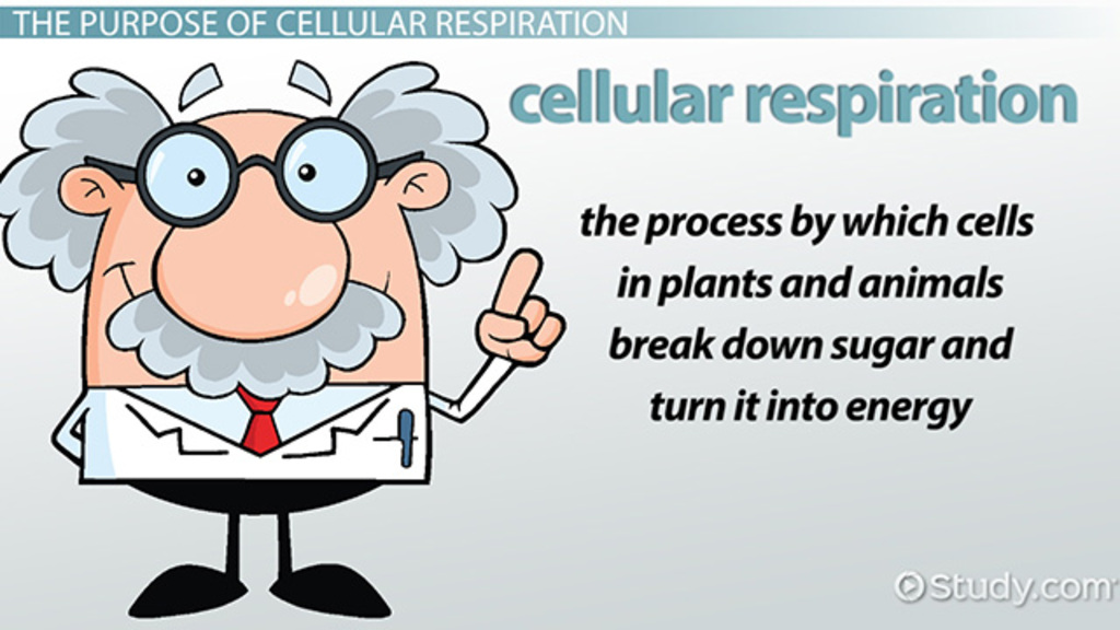 What Is the Purpose of Cellular Respiration Video Lesson – Photosynthesis and Respiration Worksheet