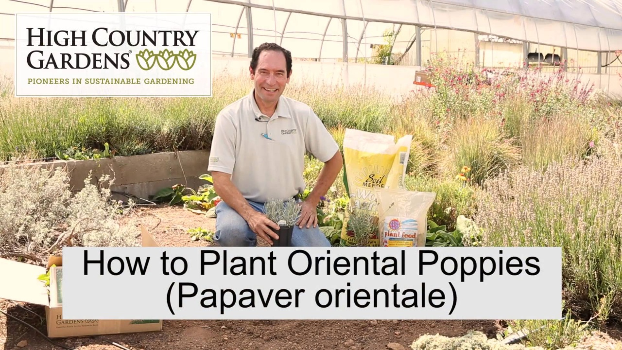 Oriental Poppy Plants For Sale Papaver High Country Gardens