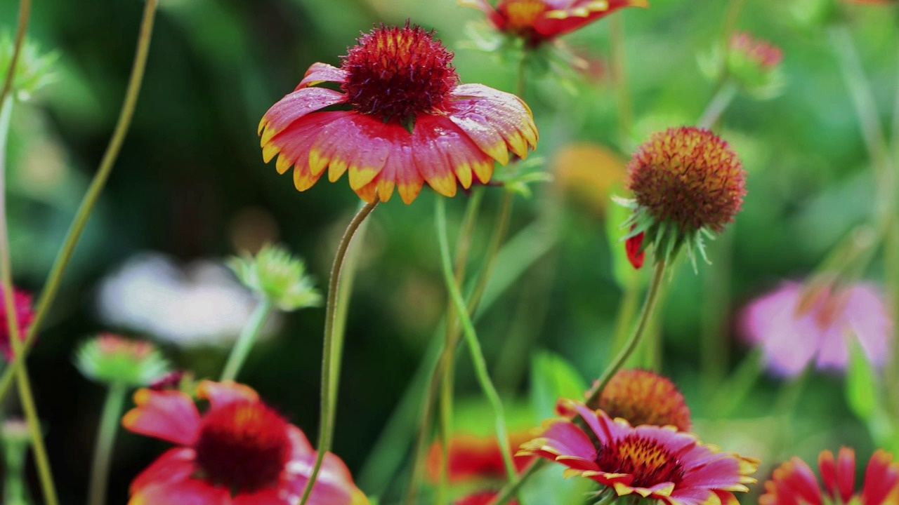 Blanket Flower Seeds Gaillardia Aristata American Meadows