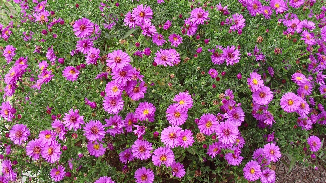 Fall Flowering Asters Perennials American Meadows