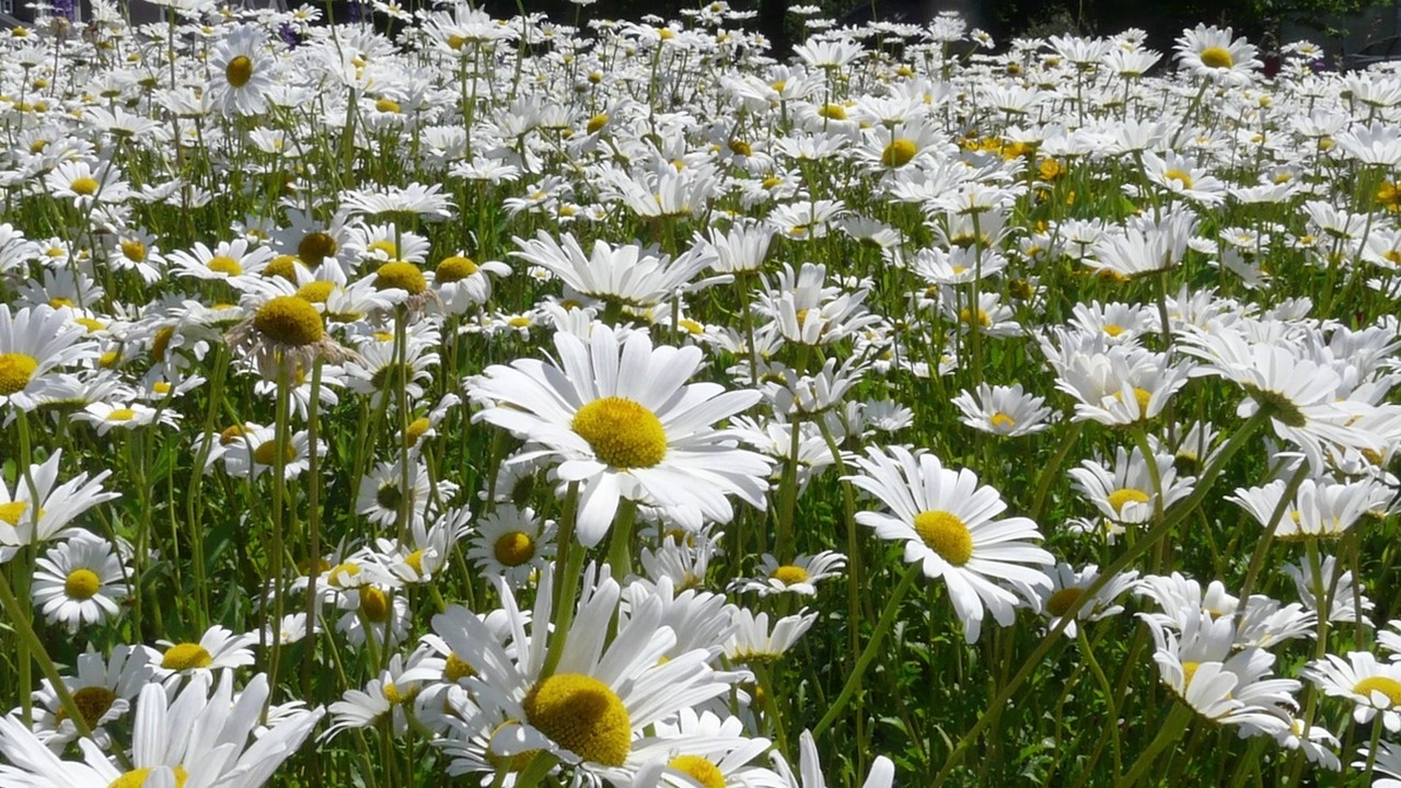 Shasta daisy wildflower seeds video thumbnail izmirmasajfo