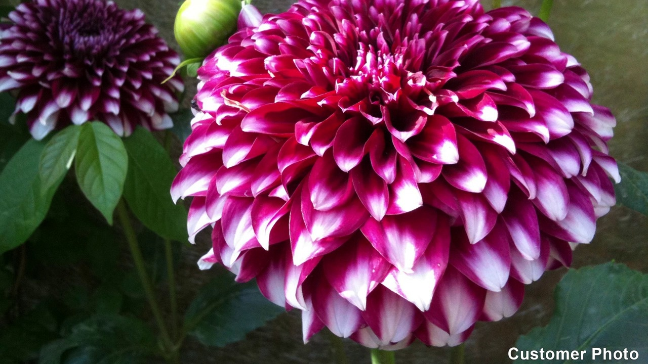 Growing dahlias its easy video thumbnail izmirmasajfo