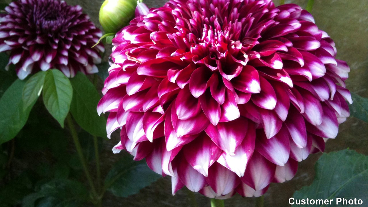 Wistia video thumbnail & Dinner Plate Dahlia Bulbs from American Meadows