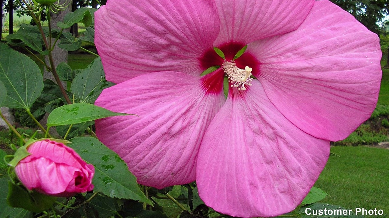 Hardy Hibiscus Perennials American Meadows