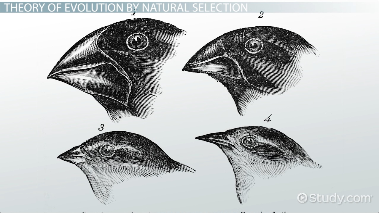 Who Was Charles Darwin Theory Of Evolution Natural Selection - 23 examples natural selection work