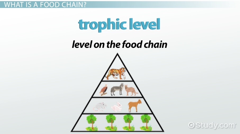red fox food chain diagram   26 wiring diagram images