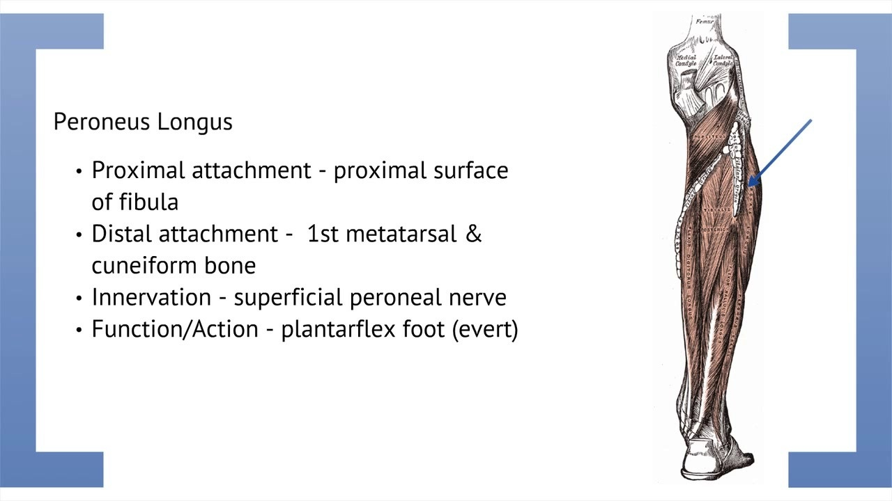 Podmedics Lower Limb Anatomy Ii