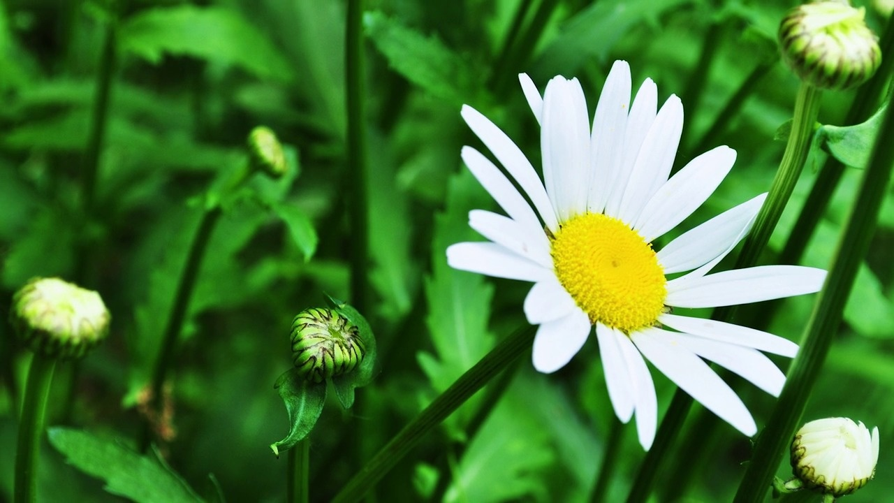 Daisy flower seeds american meadows all about oxeye daisy izmirmasajfo