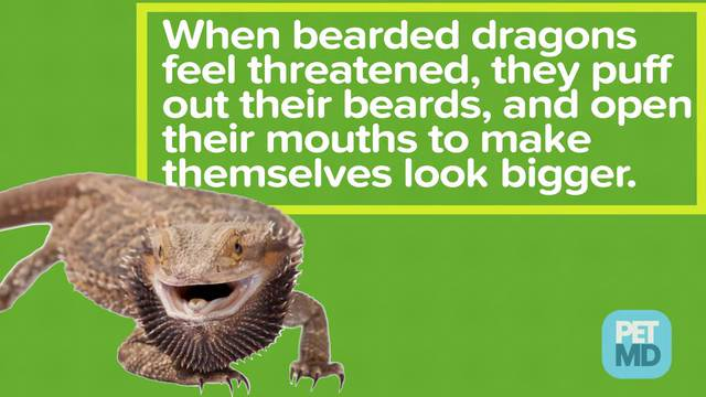 Bearded Dragon Safety
