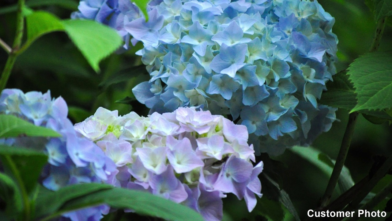 Hydrangea perennial shrubs american meadows video thumbnail izmirmasajfo