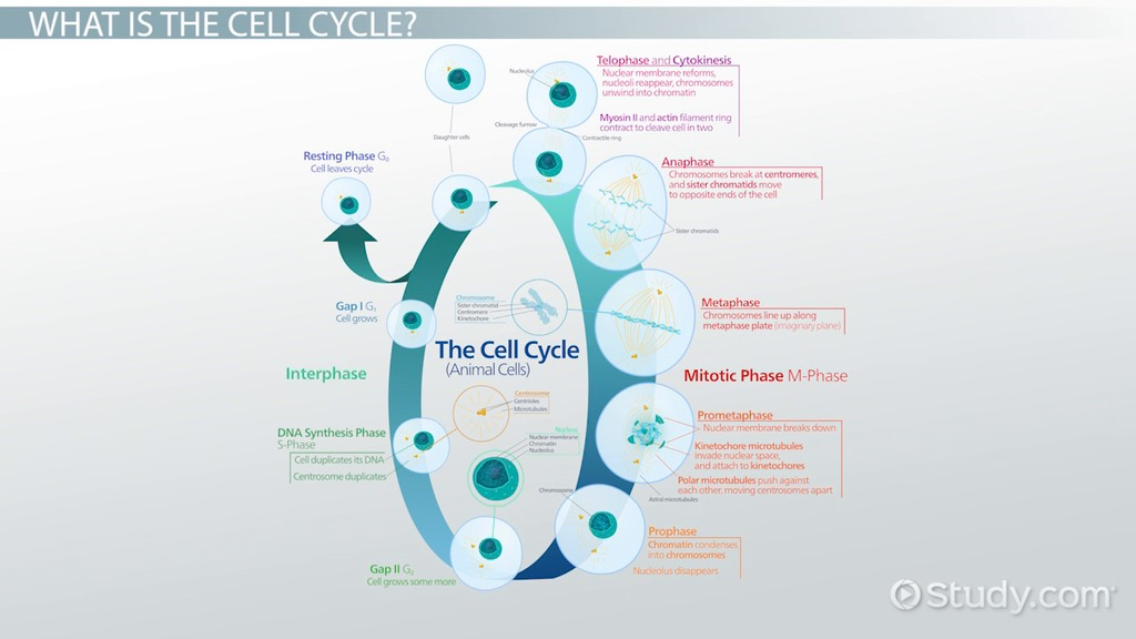 Difference Between Cell Cycle and Mitosis Video Lesson – The Cell Cycle Coloring Worksheet