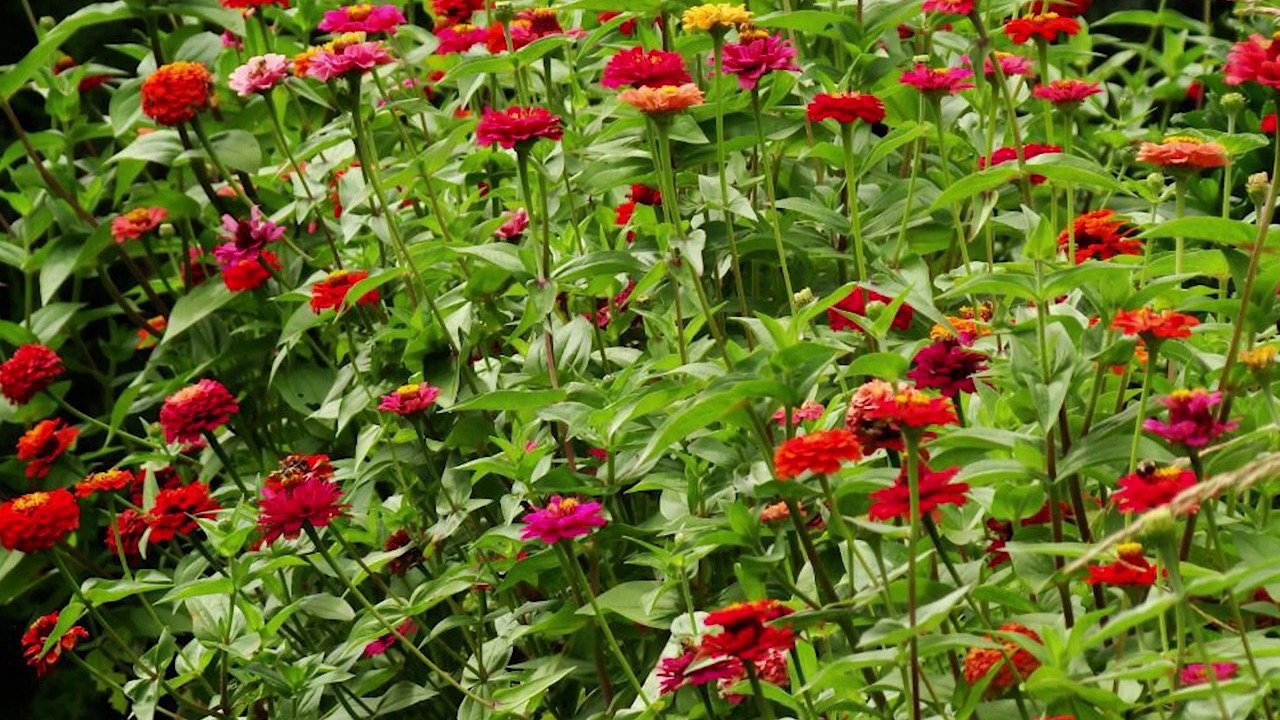 All About Cut And Come Again Zinnia