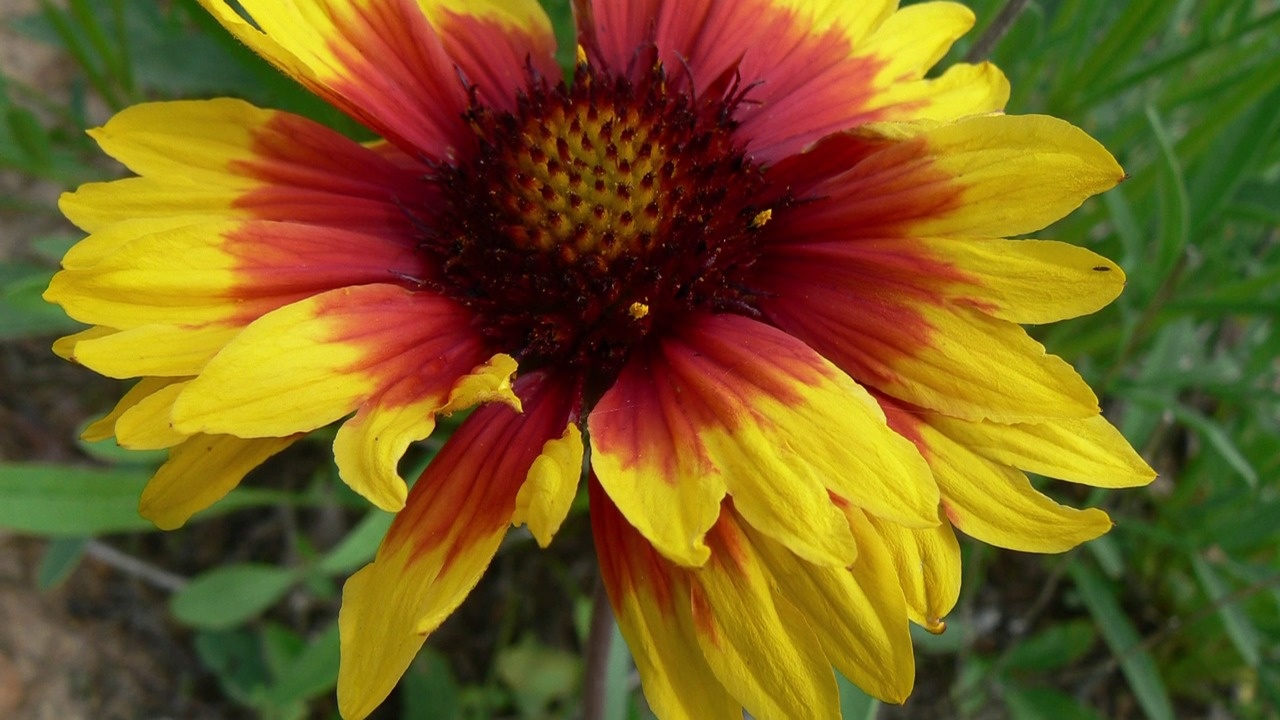 Gaillardia Burgundy Blanket Flower American Meadows